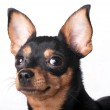 A russian toy terrier — Stock Photo #12155392