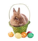 Nadýchané králík v koši s velikonoční vajíčka — Stock fotografie