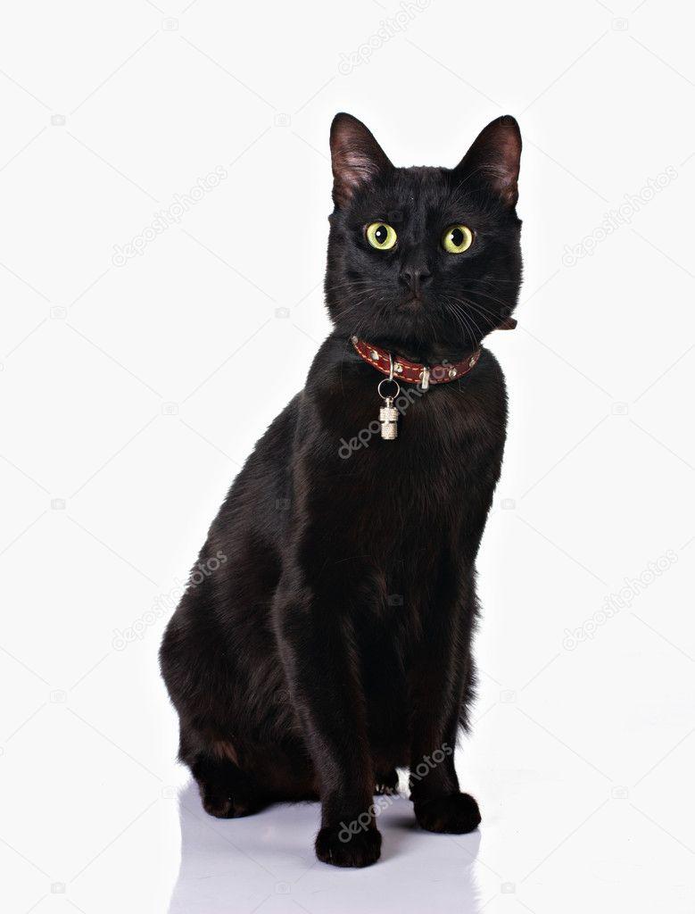 可爱黑猫咪项圈坐在白色背景上隔离带– 图库图片