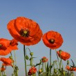 Poppies — Stock Photo #10861172