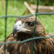 Captive Eagle — Stock Photo #10861765