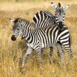 Zebra — Stock Photo #10862385
