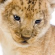 Stock Photo: Lion Cub's c