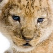 Lion Cub's c — Stock Photo