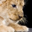 Lion Cub — Stock Photo #10863244
