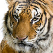 Tiger's face — Stock Photo #10863320