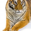 Tiger lying down — Stock Photo