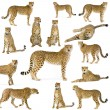 Stock Photo: Fourteen Cheetahs