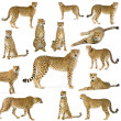 Fourteen Cheetahs - Stock Photo