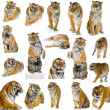 Stock Photo: 18 tigers