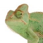 Постер, плакат: Yemen Chameleon chamaeleo calyptratus