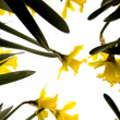 Narcissus flowers — Stock Photo #10864624