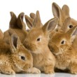 Group of bunnies — Stock Photo