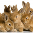 Stock Photo: Group of bunnies