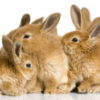 Group of bunnies — Stock fotografie