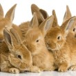 Group of bunnies — Stockfoto