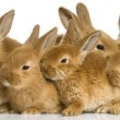 Group of bunnies — Stock Photo #10864903