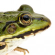 Edible Frog - Rana esculenta — Stock Photo #10865226
