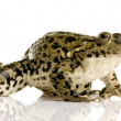 Marsh Frog - Rana ridibunda - Stock Photo