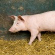 Pig in a shed — Stock Photo