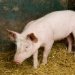 Pig in a shed - Stock Photo