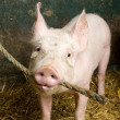 Stock Photo: Pig in shed