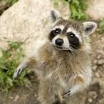 Raccoon — Stock Photo #10865850