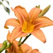 Tiger Lily — Stock Photo #10866363