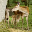 Deer with her fawn — Stock Photo