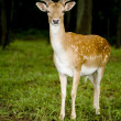 Stock Photo: Deer