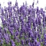 flores silvestres — Foto de Stock