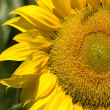 Sunflower — Foto de stock #10867438