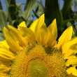 Sunflower — Stock Photo #10867446