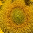 Sunflower — Stock Photo #10867456