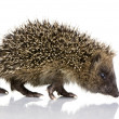 Hedgehog (1 mounths) — Stock Photo