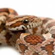 Corn Snake - Stock Photo