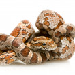 Stock Photo: Corn Snake