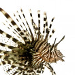 Red lionfish - Pterois volitans — Stock Photo