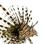 Red lionfish - Pterois volitans — Stock Photo