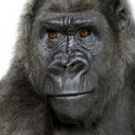 Young Silverback Gorilla — Stock Photo #10869128