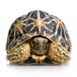 Indian Starred Tortoise - Geochelone elegans — Stock Photo