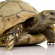 Herman's Tortoise - Testudo hermanni — Stock Photo