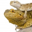 Lawson's dragon - Pogona henrylawsoni — Stock Photo