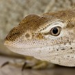 Monitor lizard - Freckled Monitor - Varanus tristis orientalis — Stock Photo