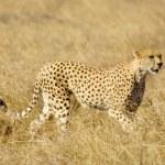 Cheetah — Stock Photo #10869586