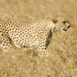 Royalty-Free Stock Photo: Cheetah Masai mara Kenya