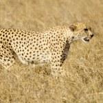 Cheetah Masai mara Kenya — Stock Photo #10869594