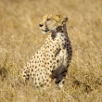 Cheetah Masai mara Kenya — Stock Photo #10869605