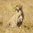 Stock Photo: Cheetah Masai marKenya