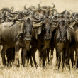 Wildebeest Masai mara Kenya — Stock Photo